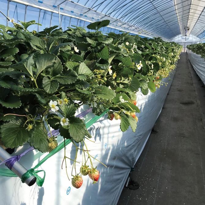 いちご栽培のための 未利用熱を使った熱供給